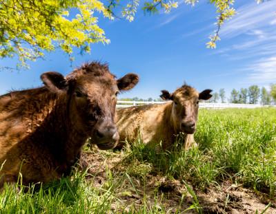 Sitting Cows Chew the Cud