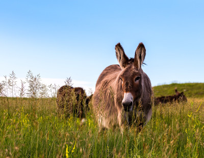 Pregnant Burro in Grass