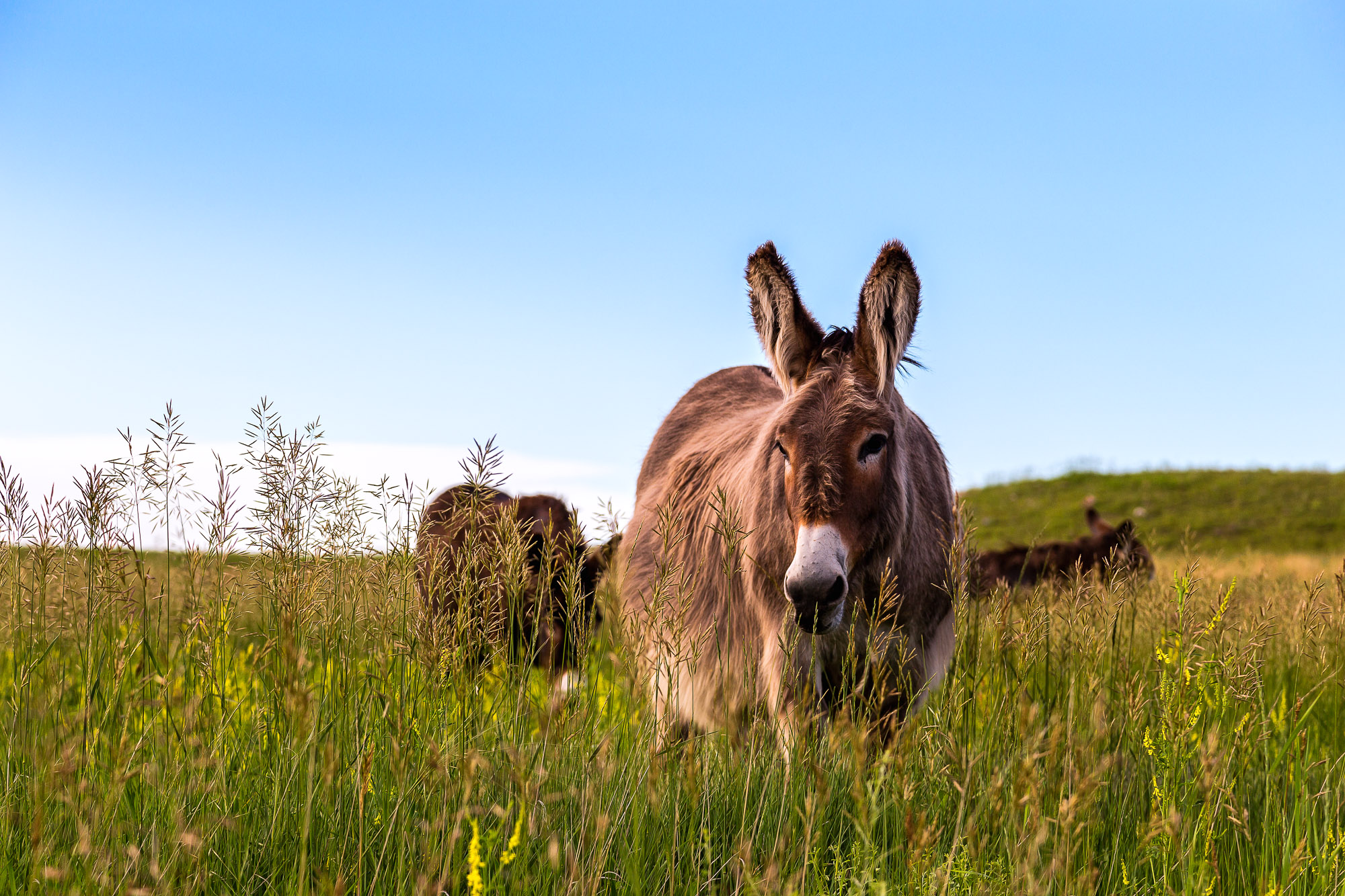 Pregnant burro in tall grass