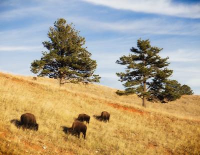 Bison on the Hillside