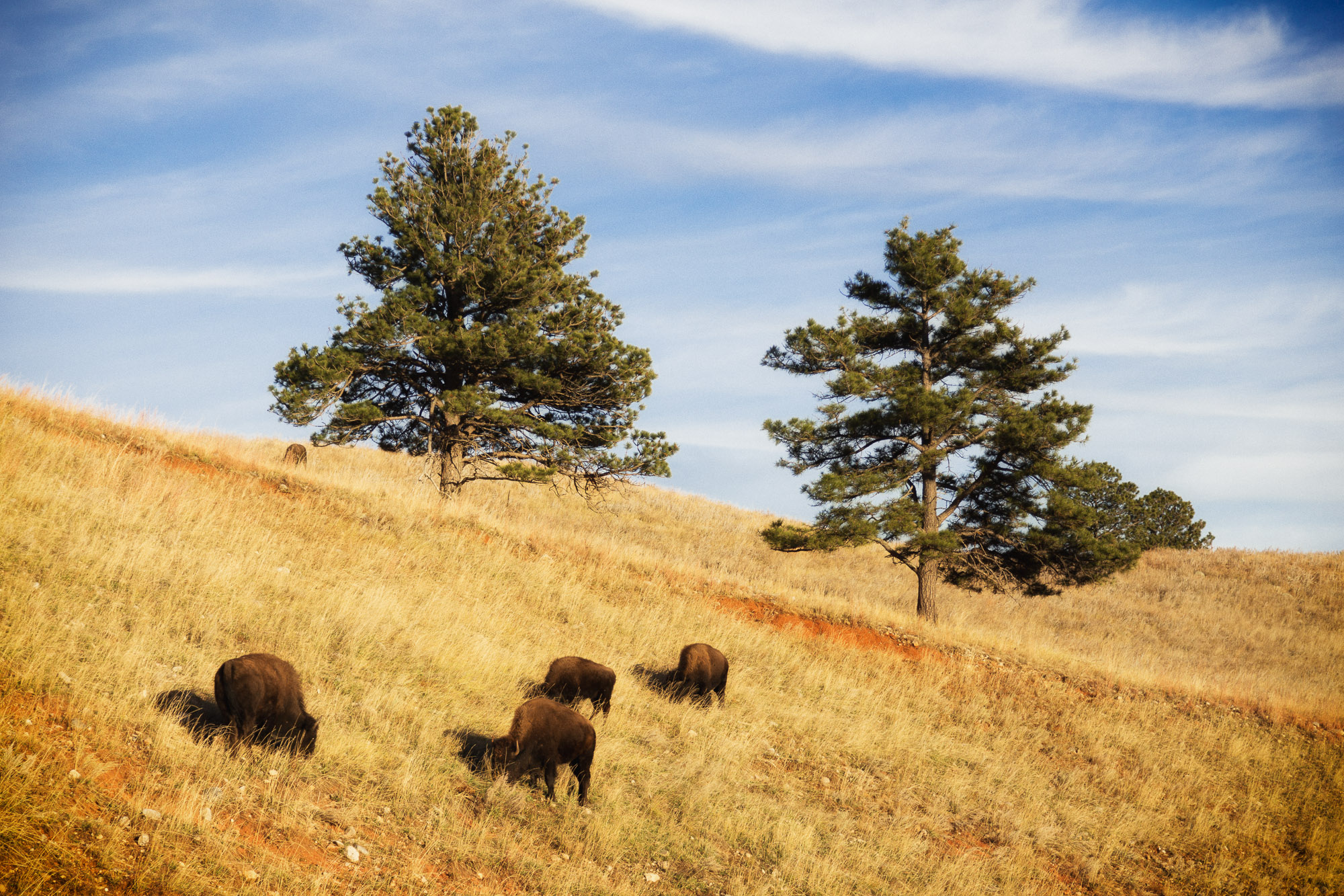 Bison on the Hillside
